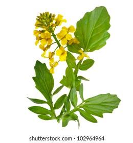 Flowering Barbarea vulgaris or Yellow Rocket plant (Cruciferae , Brassicaceae ) close up isolated