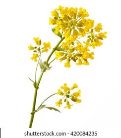 Flowering Barbarea vulgaris or Yellow Rocket plant (Cruciferae , Brassicaceae ) close up isolated on white