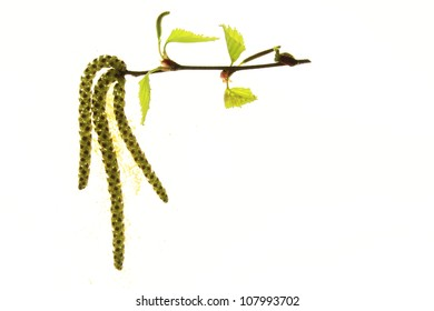 flowering birch twig against a white background