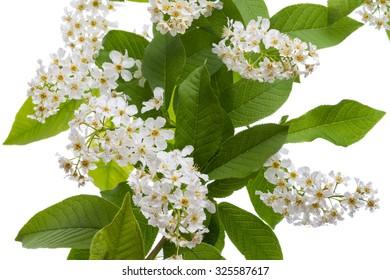 Flowering  bird-cherry tree isolated on white background
