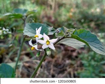 Flowering black nightshade (Solanum nigrum)