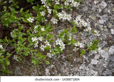 Flowering blackthorn shrub in the nature by a mossy rock