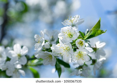 Flowering - blooming cherry tree, beautiful nature in spring