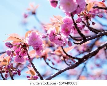 Flowering, blooming Japanese cherry tree, Flowering cherry tree - beautiful flowering