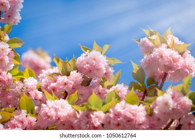 Flowering - blooming Japanese cherry tree and blue sky (beautiful nature in spring)