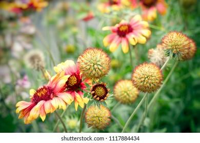 Flowering, blooming yellow flowers in flower garden in summer - beautiful flower