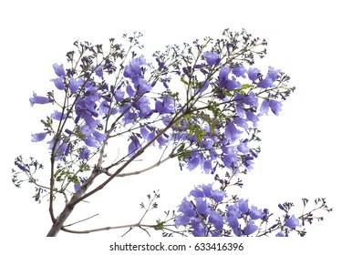 flowering blue jacaranda isolated on white bacground