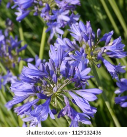Flowering Blue Lily of the Nile Agapanthus Torbay Plant