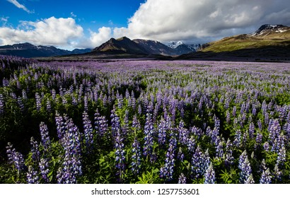 Flowering blue lupine field in front of  Vatnajökull National Park mountains in South-East Iceland during summer