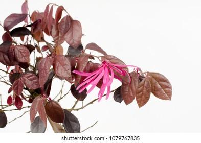 flowering bonsai, loropetalum chinense