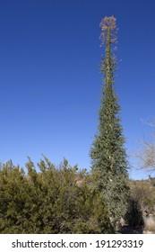Flowering Boojum tree or Fouquieria columnaris in Boyce Thompson Arboretum State Park near city of Superior; AZ