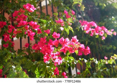The flowering bougainvillea in the backlight of sun. Lisbon. Portugal