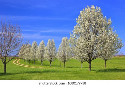 Flowering Bradford pear trees on a beautiful blue sky day along a country lane in eastern Ohio.
