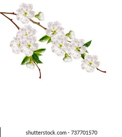 Flowering branch of apple isolated on a white background.