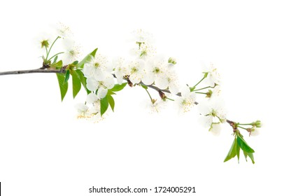 Flowering branch of cherry isolated on a white background.