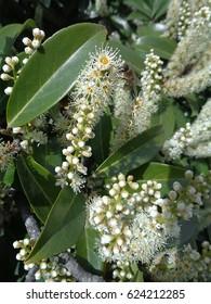 Flowering branch cherry laurel