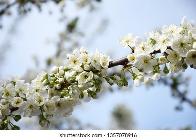 Flowering branch of cherry on a blue sky. Spring flowering of fruit trees in the garden. White color cherry closeup with selective focus. Spring blooming sakura cherry flowers branch.