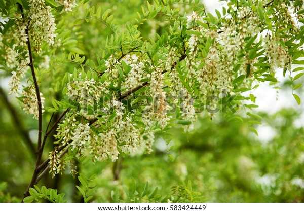 Flowering branch false acacia (robinia)  photographed in spring