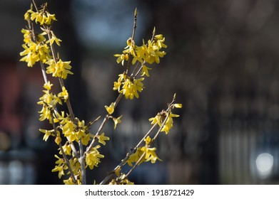 flowering-branch-forsythia-shrub-yellow-