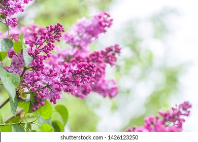 flowering branch of a lilac bush after the rain in drops of water