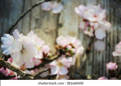 Flowering branch on the old wooden background. Spring  concept.