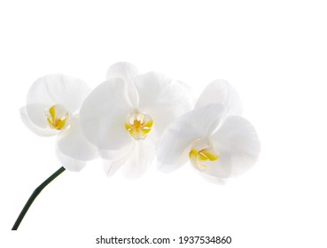 Flowering branch orchid Phalaenopsis or Moth dendrobium, close-up