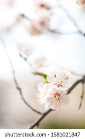 Flowering branch in pastel colors without foliage the beginning of spring