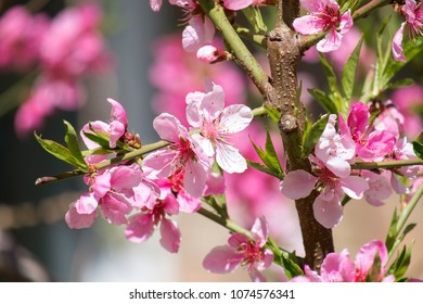 Flowering branch of a peach tree (Prunus persica)