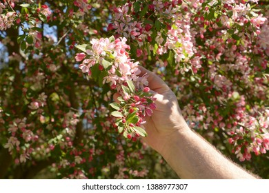 flowering branch of purple chokeberry in hairy male hand lit by the spring sun, branch of japanese crab or malus floribunda in male hand