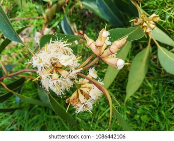 Flowering branch of swamp mahogany or messmate, Eucalyptus robusta