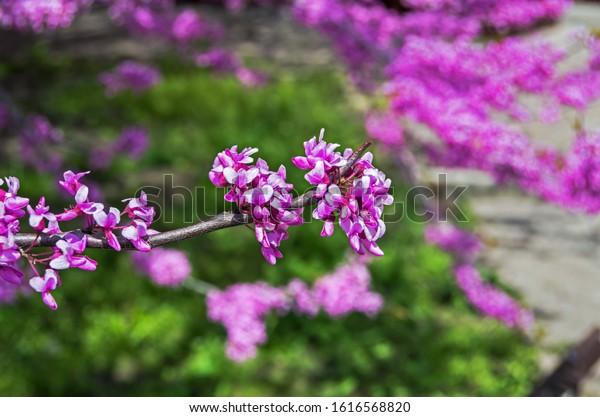 flowering-branch-tree-southern-europe-60