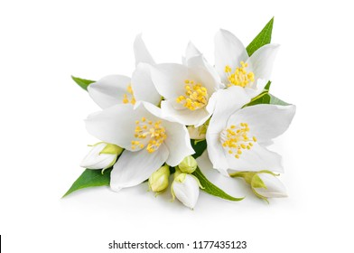 flowering branch of white jasmine. Jasmin flower with leaf isolated on white background