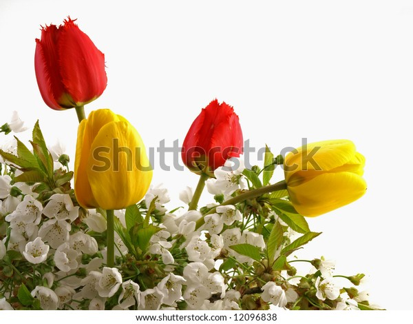 Flowering branches of cherries tree with tulips on white background