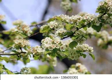 Flowering branches of Crataegus mollis in the Park