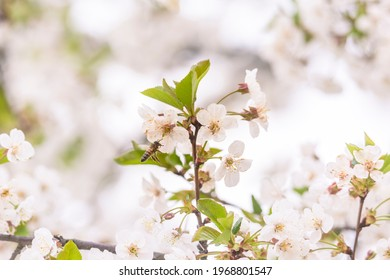 flowering branches of sour cherry tree with white flowers and bees
