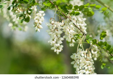 Flowering branches of white acacia in spring.