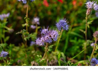 flowering buckwheat on the field - Shutterstock ID 1469968841