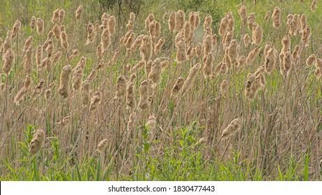 Flowering bullrush field with golden plumes and green bokeh background y- Cyperaceae