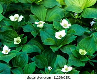 Flowering bunchberry plants