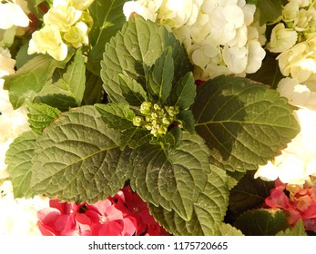 Flowering bunches of hydrangeas closeup