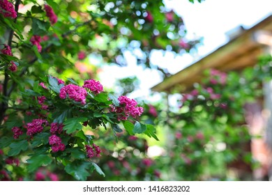 flowering Bush on the background of the house