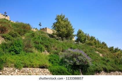 A flowering bush of purple color on the hillside under the walls of the old city of Jerusalem