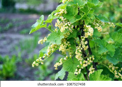 flowering bush of red currant with green leaves in the garden