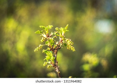 flowering bush of red currant with green leaves in the garden. Blooming currant. Currant Bush with green leaves and flowers. Springtime in garden