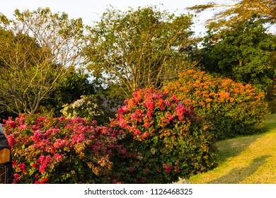 Flowering bush of the rhododendron. Aberdare, Kenya