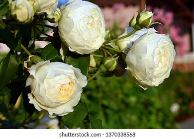 """Flowering bush of a rose blooming in yellow-white flowers. White rose """"Claire Austin"""" (Ausprior) with natural light."""
