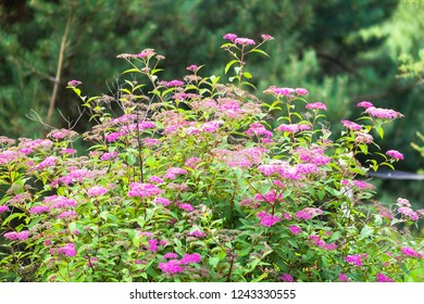 Flowering bush of Spiraea yaponica. Floriculture, gardening, nature theme.Beautiful decorative Bush in the light of the summer evening