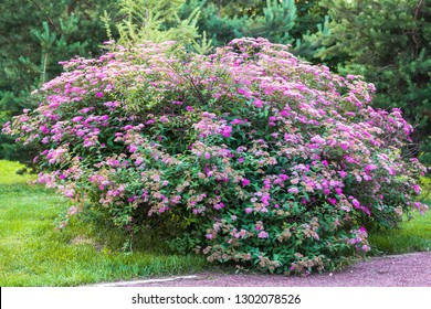 Flowering bush of Spiraea yaponica. Floriculture, gardening, nature theme.Beautiful decorative Bush in the light of the summer eve.
