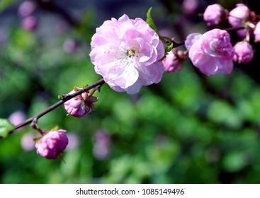 flowering bush of wild roses