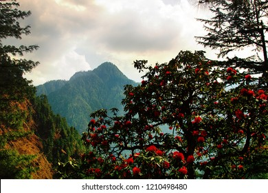 Flowering bushes, red inflorescences and leaves shining in oblique rays of sun - tree rhododendron (Rhododendron arboreum). Spring in Himalayas